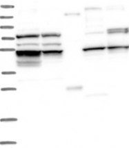 NBP1-88761 - CEP57-related protein