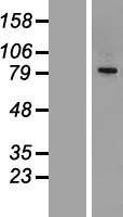 NBL1-09103 - CEP68 Lysate