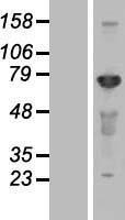 NBL1-09105 - CEP72 Lysate