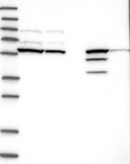 NBP1-87115 - CERKL