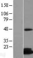 NBL1-10584 - CGI-128 Lysate