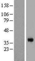 NBL1-09137 - CGR19 Lysate