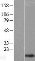 NBL1-09141 - CHCHD1 Lysate