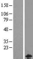 NBL1-09143 - CHCHD5 Lysate