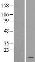 NBL1-09145 - CHCHD7 Lysate