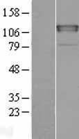 NBL1-09148 - CHERP Lysate