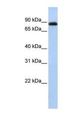 NBP1-52955 - CHFR / RNF196