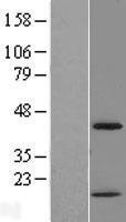 NBL1-09152 - CHI3L2 Lysate