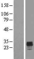 NBL1-09159 - CHMP2A Lysate