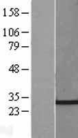 NBL1-09161 - CHMP4C Lysate