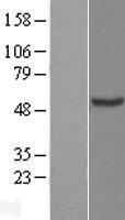 NBL1-09165 - CHN1 Lysate