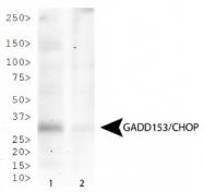 NB600-1335 - GADD153 / CHOP
