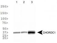 NBP1-78304 - CHORDC1