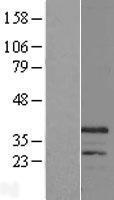 NBL1-09172 - CHRFAM7A Lysate