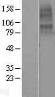 NBL1-09178 - CHRNA10 Lysate