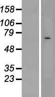 NBL1-09190 - CHRND Lysate