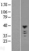 NBL1-09192 - CHST10 Lysate
