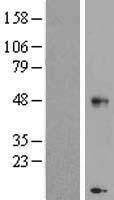 NBL1-09193 - CHST11 Lysate