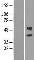 NBL1-09194 - CHST12 Lysate