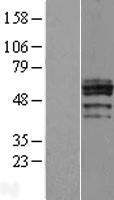 NBL1-09197 - CHST6 Lysate