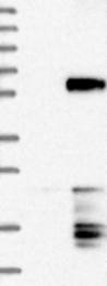 NBP1-83396 - CHST8