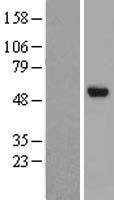 NBL1-09198 - CHST8 Lysate