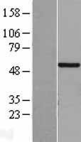 NBL1-09199 - CHST9 Lysate