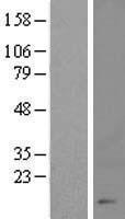 NBL1-09571 - CHTF8 Lysate
