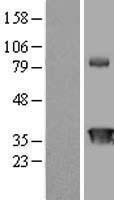 NBL1-09203 - Anamorsin Lysate
