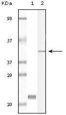 NBP1-47401 - CIB1