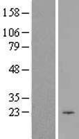 NBL1-09204 - CIB1 Lysate