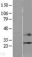 NBL1-09207 - CIDE C Lysate