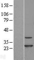 NBL1-09209 - CINP Lysate
