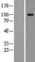 NBL1-12266 - p90 Autoantigen Lysate