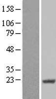 NBL1-09212 - CIRBP Lysate