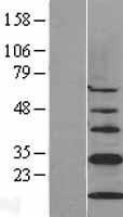 NBL1-09214 - CISD1 Lysate