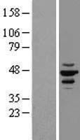 NBL1-09531 - CK1 epsilon Lysate