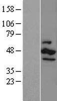 NBL1-09532 - CK1 epsilon Lysate