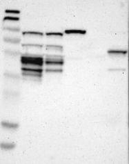 NBP1-84602 - CKAP2