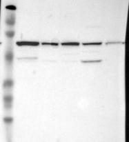NBP1-85571 - CKAP4