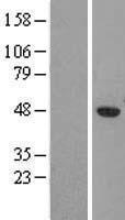NBL1-09536 - CKII alpha Lysate