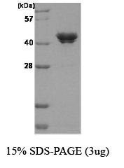 NBC1-18386 - Casein kinase II subunit alpha