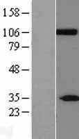 NBL1-09228 - CLCA2 Lysate