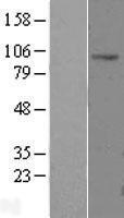 NBL1-09233 - CLCN2 Lysate