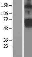 NBL1-09234 - CLCN5 Lysate