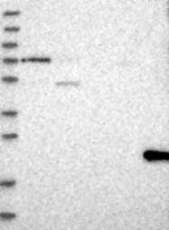 NBP1-86789 - CLDND1