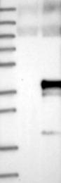 NBP1-86790 - CLDND1