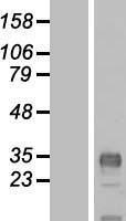 NBL1-09252 - CLDND1 Lysate