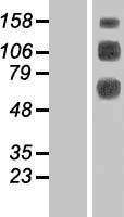 NBL1-09255 - CLEC14A Lysate