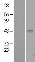 NBL1-13068 - CLEC18C Lysate